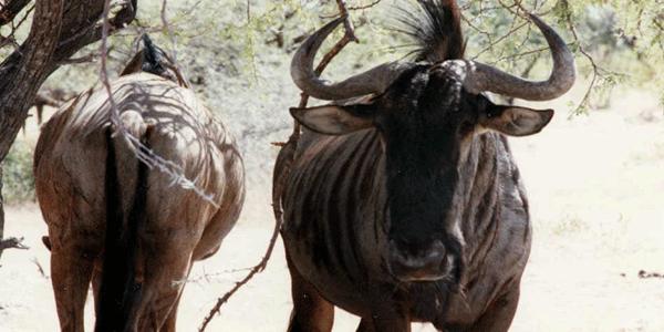 Rencontre avec les gnous du parc d' etosha en namibie