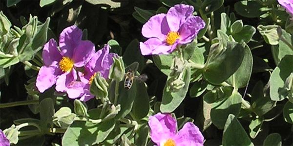la ciste cotonneuse fleur du maquis