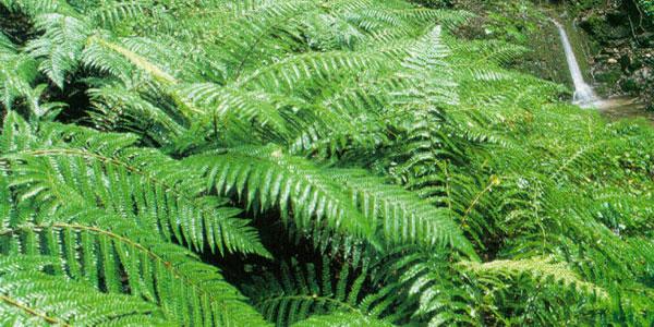 Corse - la fougere géante de Sisco - Woodwardia radicans