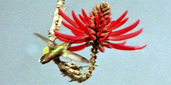Colibri de Los Angelès - Broad Tailed Hummingsbird