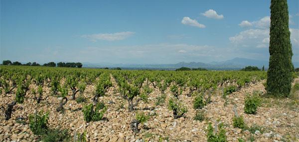 Château Cabrières - Les Silex - les vignes du domaine