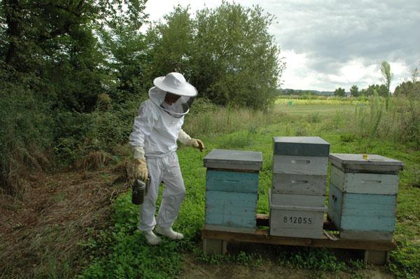 Les ruches sont placées dans une zone protégées, à proximité des plantations