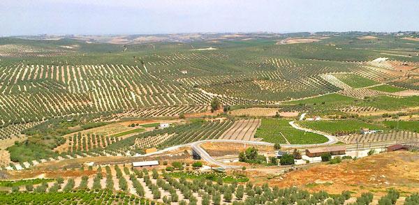 Les vignes autour de Aguilar de la Frontera, en Andalousie.