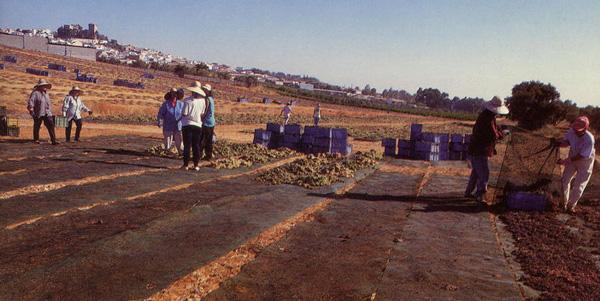 procédé de dessication des grappes de raisin torro albala en Andalousie