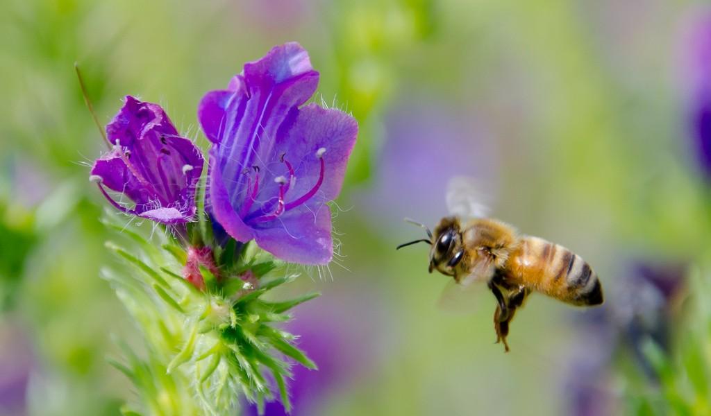 abeille-en-vol Apis mellifera Copyright © Gentside Découverte