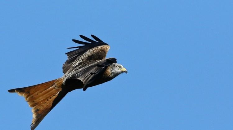 L'aigle Royal du Monte Canettu entre Sisco et Ogliastru