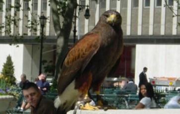 L'aigle royal de Bryant Park à New York