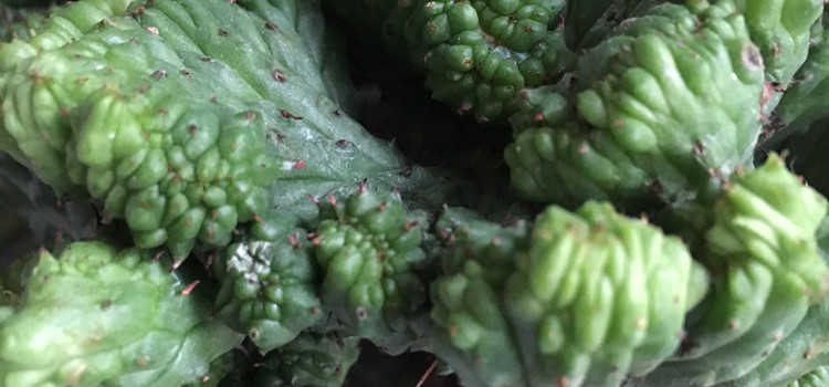 Euphorbia enopla chez L'Oeil Végétal